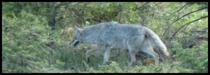 Loup ou coyote ? Peut-être un louyote. Ou un coloup