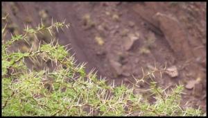 Des acacias, que seuls les chèvres et les lamas peuvent manger