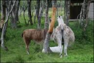 des rennes déguisés en lamas, n'importe quoi